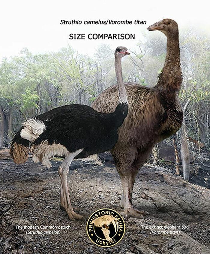 Современный обыкновенный страус и вымершая слоновая птица
