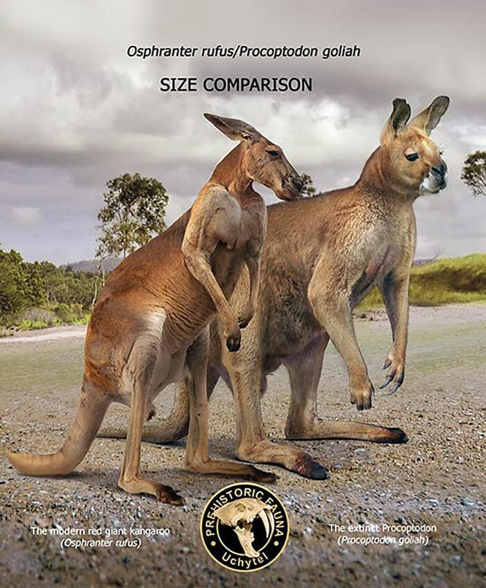 Современный рыжий кенгуру и вымерший прокоптодон