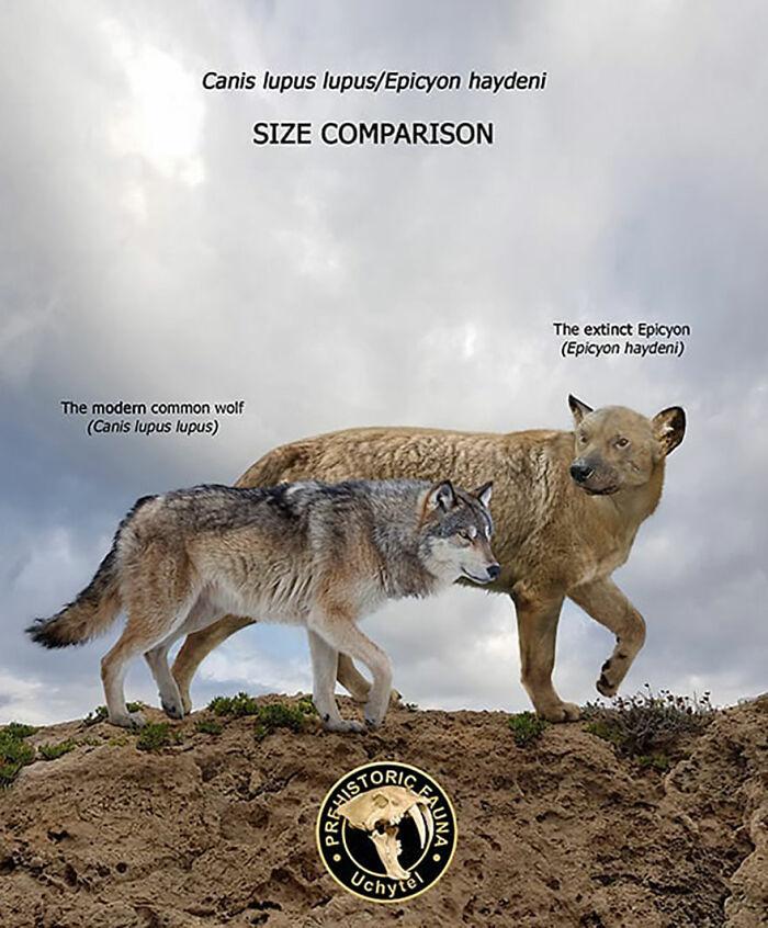 Современный волк и вымерший эпицион