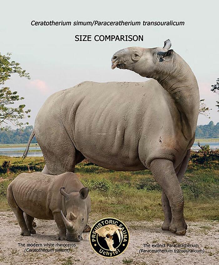 Современный белый носорог и вымерший парацератерий