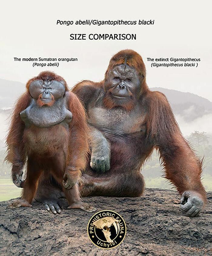 Современный орангутан и вымерший гигантопитек
