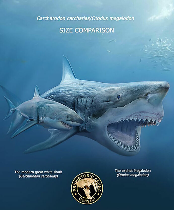 Современная большая белая акула и вымерший мегалодон