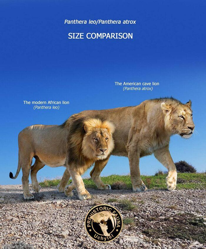 Современный африканский лев и вымерший американский лев