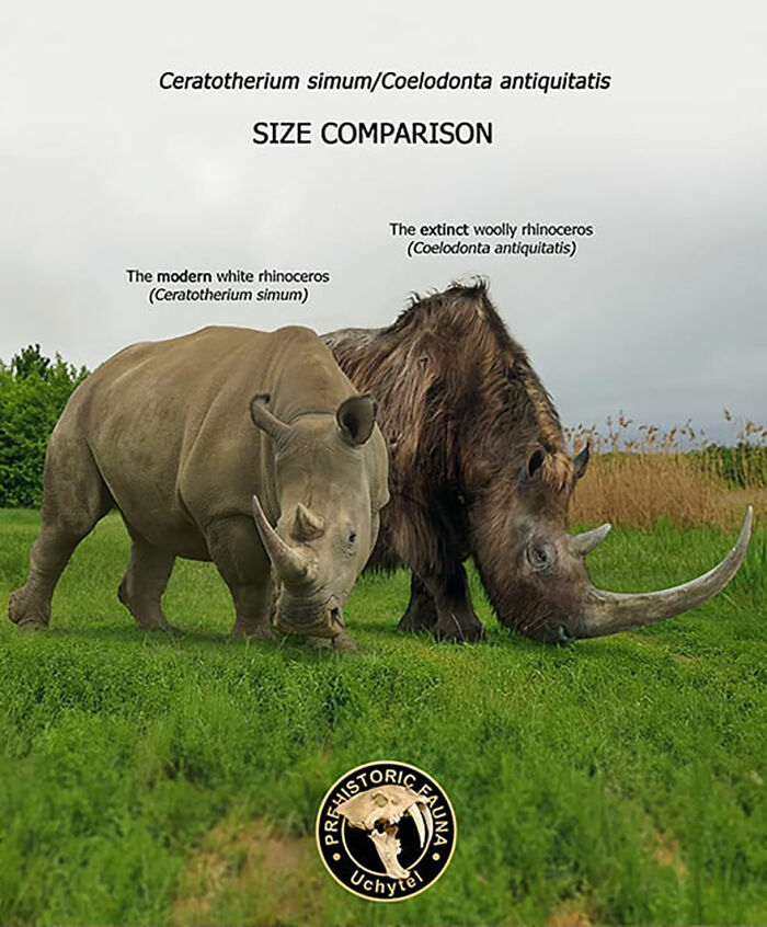 Современный белый носорог и вымерший шерстистый носорог