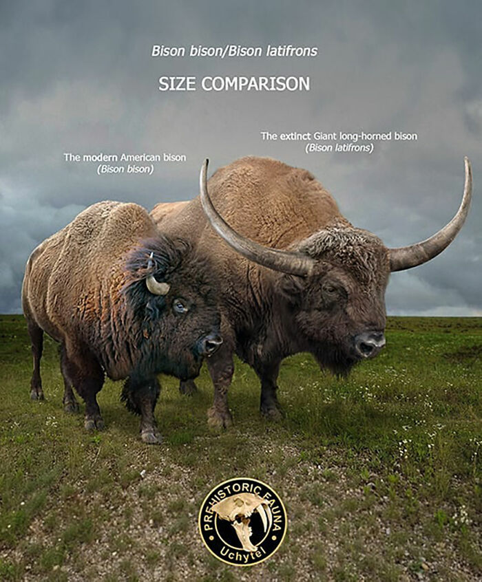 Современный американский бизон и вымерший гигантский длиннорогий бизон