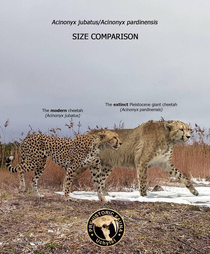 Современный и вымерший гепарды
